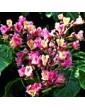 Pávie červená / Red Chestnut (25), 10 ml - Bachovy květové bio esence