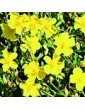 Devaterník dvoubarvý / Rock Rose (26), 10 ml - Bachovy květové bio esence