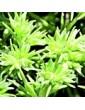 Chmerek roční / Sclerantus (28), 10 ml - Bachovy květové bio esence