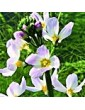 Žebratka bahenní / Water Violet (34), 10 ml - Bachovy květové bio esence