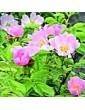 Růže šípková / Wild Rose (37), 10 ml - Bachovy květové bio esence